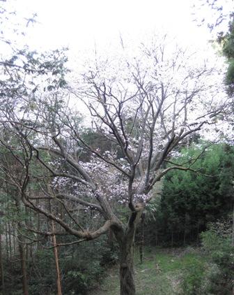 画像:上青柳の大ヤマザクラ