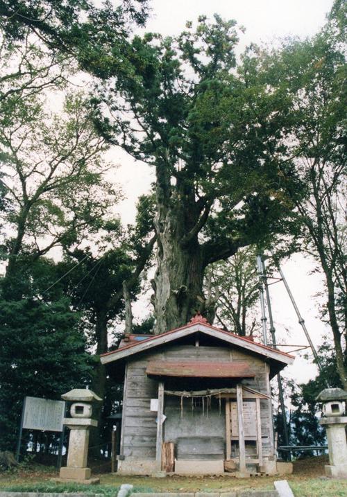 画像:佐久の大杉
