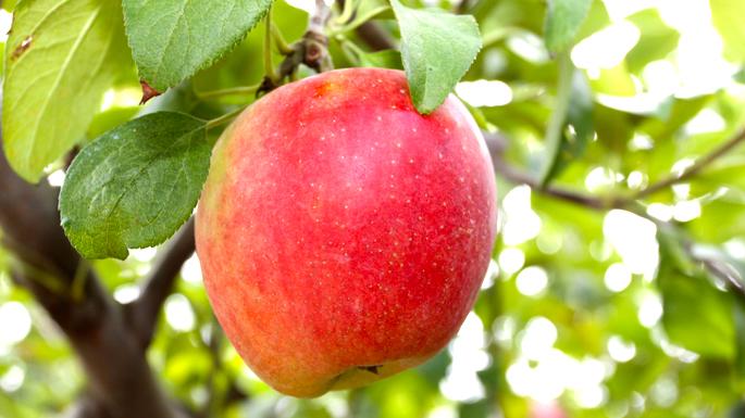 観光果樹園(りんご)01
