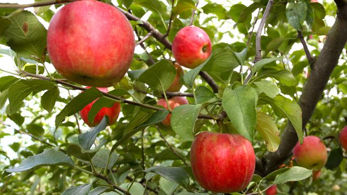 『観光果樹園(りんご)02』の画像