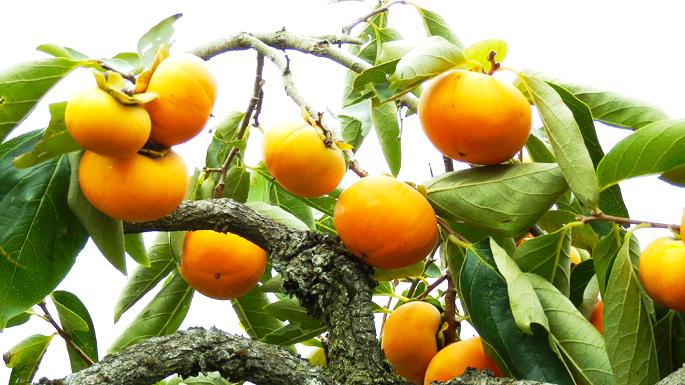 『観光果樹園(柿)01』の画像