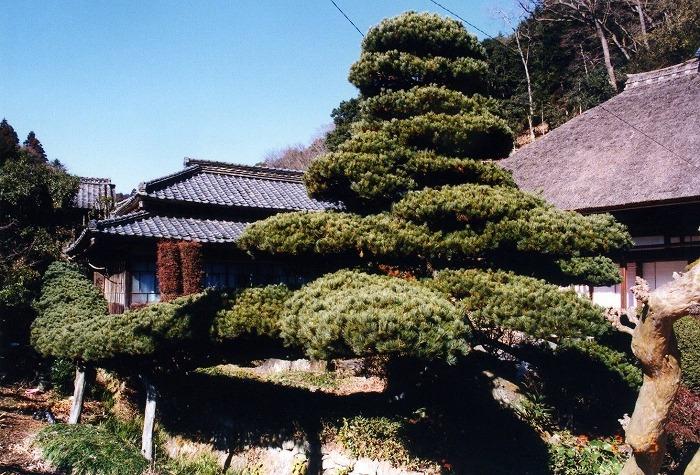 画像:画像:中山の五葉松