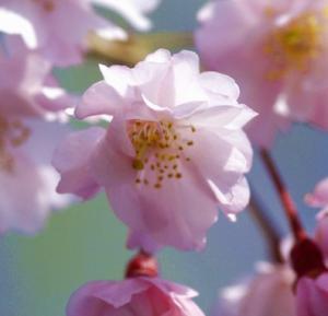 画像:しだれ桜アップ