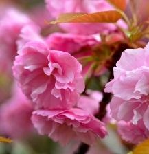 画像:ボタン桜アップ