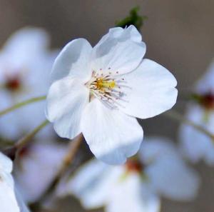 画像:山桜アップ
