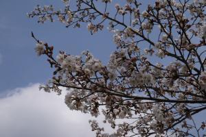 画像:山桜