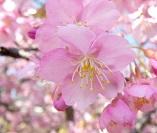 『河津桜』の画像