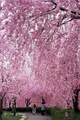 『常陸風土記桜』の画像