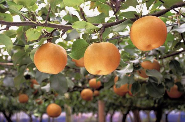 『観光果樹園(梨)』の画像