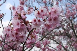 『『桜づつみ4月6日』の画像』の画像