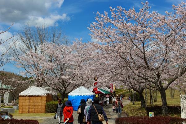 『風土記の丘_ソメイヨシノ_0412』の画像