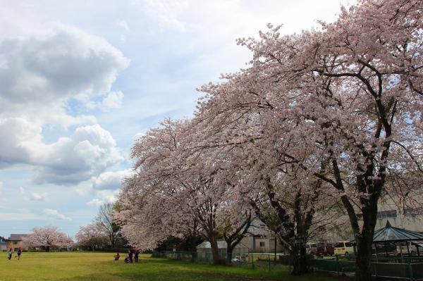 『国分尼寺_ソメイヨシノ_0412』の画像