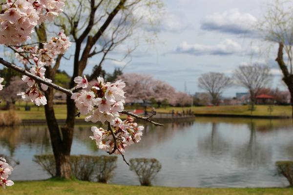 『柏原池公園_ソメイヨシノ_0412』の画像