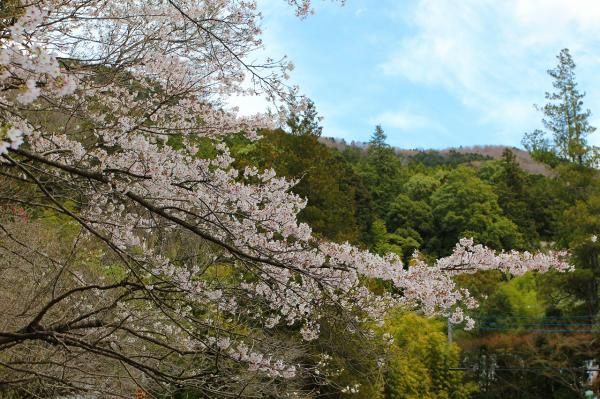 『大覚寺_ソメイヨシノ_0412』の画像