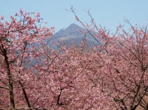 『河津桜記者会見』の画像